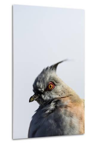 A Crested Pigeon, Ocyphaps Lophotes, Fluffs its Feathers to Stay Warm on a Cold Desert Morning-Jason Edwards-Metal Print