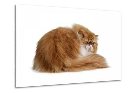 Persian Cat-Fabio Petroni-Metal Print