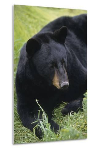 Captive: Close Up of a Black Bear Laying-Design Pics Inc-Metal Print