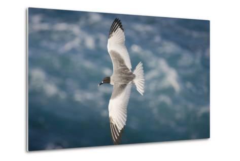 Swallow-Tailed Gull-DLILLC-Metal Print