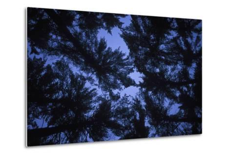 Pine Trees, Seen from Below-Rebecca Hale-Metal Print
