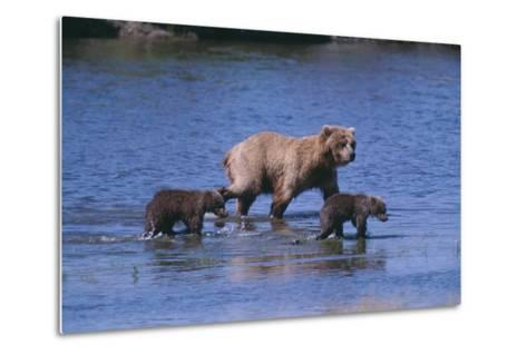 Grizzly Cubs with Mother in River-DLILLC-Metal Print