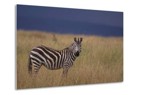 Common Zebra-DLILLC-Metal Print
