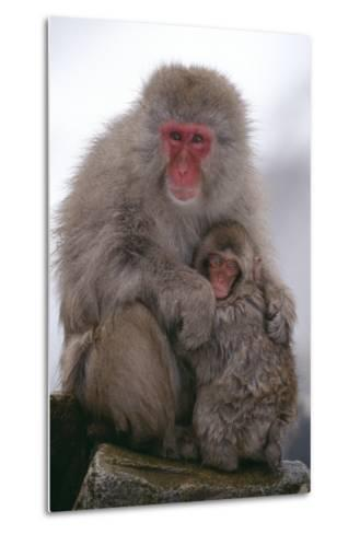 Japanese Macaque with Baby-DLILLC-Metal Print