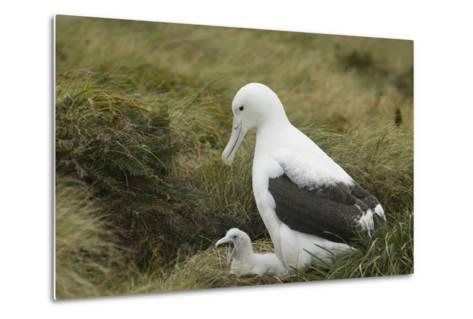 Southern Royal Albatross-DLILLC-Metal Print