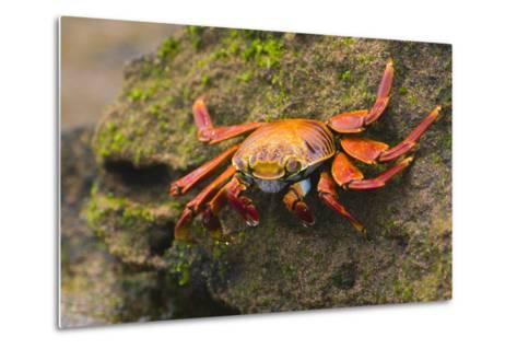 Sally Lightfoot Crab on a Rock-DLILLC-Metal Print