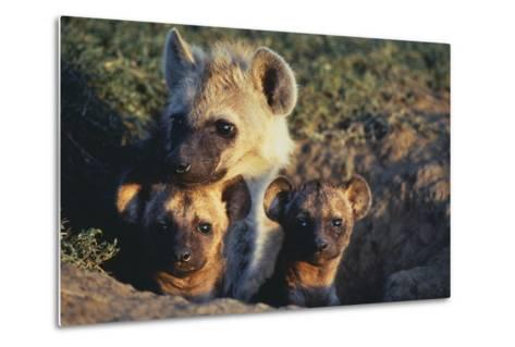Young Hyenas in Den-DLILLC-Metal Print