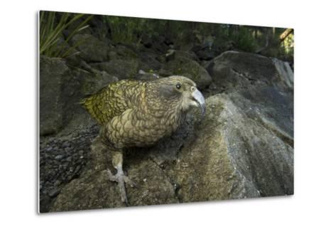 A Kea, Nestor Notabilis, at the Auckland Zoo-Joel Sartore-Metal Print