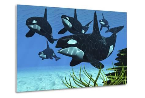 A Pod of Killer Whales Swim Along a Reef Looking for Fish Prey--Metal Print