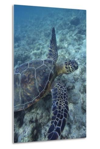 Green Sea Turtle Swimming in Ocean-DLILLC-Metal Print