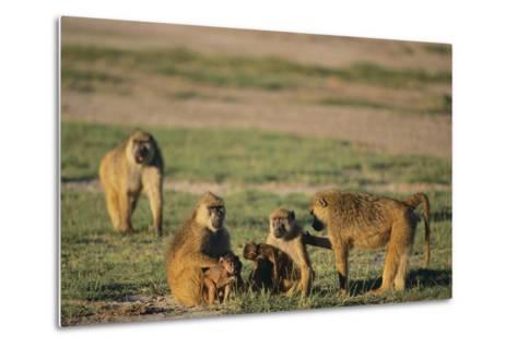 Baboon Family-DLILLC-Metal Print