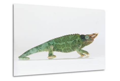 Jackson's Chameleon-DLILLC-Metal Print
