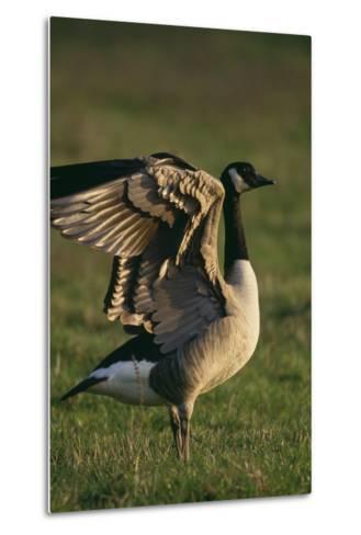 Canada Goose Stretching Wings-DLILLC-Metal Print