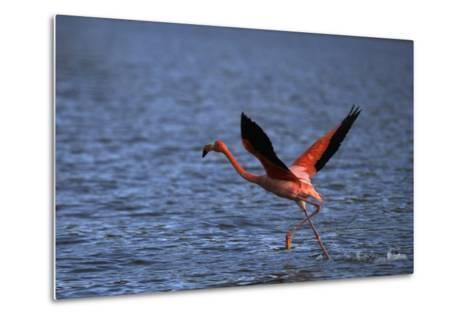 Flamingo Wading through Water-DLILLC-Metal Print