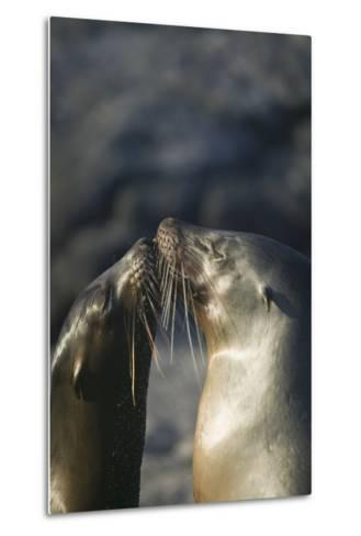 Galapagos Sea Lions in Love-DLILLC-Metal Print