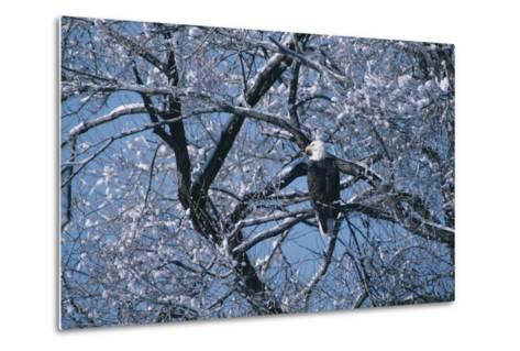 Bald Eagle Perching in Tree-DLILLC-Metal Print