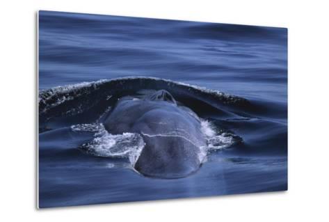 Blue Whale's Back-DLILLC-Metal Print