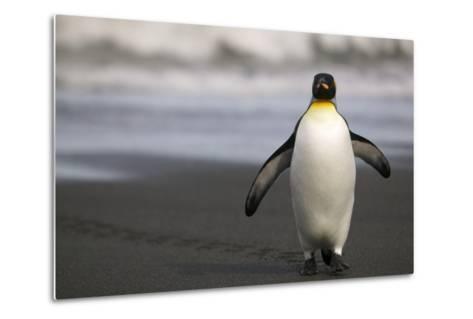 King Penguin Walking on Sand-DLILLC-Metal Print