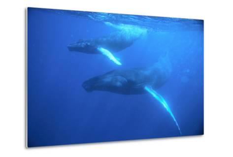 Humpback Whales-DLILLC-Metal Print