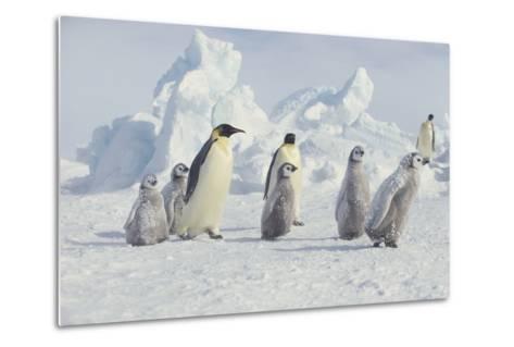 Emperor Penguins and Offspring-DLILLC-Metal Print