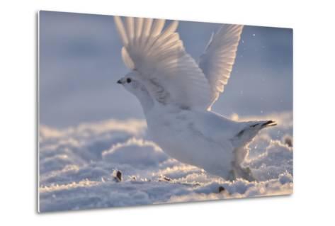 A Ptarmigan in its White Winter Plumage, Taking Flight-Peter Mather-Metal Print