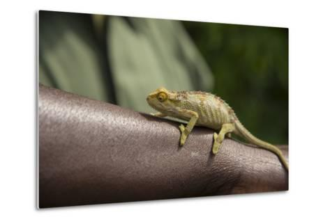 A Chameleon Perched on a Guide's Arm-Michael Melford-Metal Print