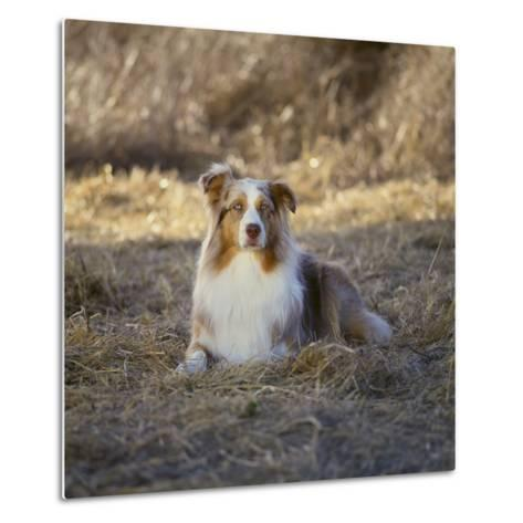 Australian Shepherd-DLILLC-Metal Print