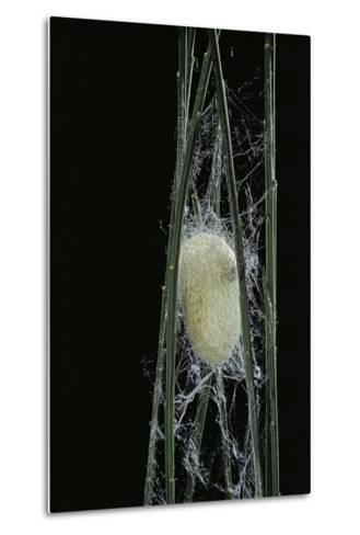 Bombyx Mori (Common Silkmoth) - Larva or Silkworm Spinning Cocoon-Paul Starosta-Metal Print