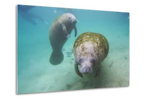 Snorkeling Tourists Watching a Florida Manatee and Her Calf Among a School of Small Fish-Mike Theiss-Metal Print