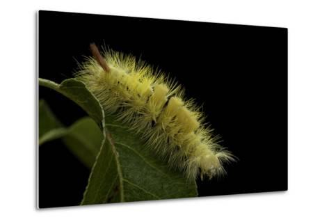 Calliteara Pudibunda (Pale Tussock Moth, Red Tail Moth) - Caterpillar-Paul Starosta-Metal Print