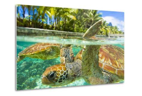 Close Up of Green Sea Turtles While Swimming with Them at the Le Meridien Resort-Mike Theiss-Metal Print