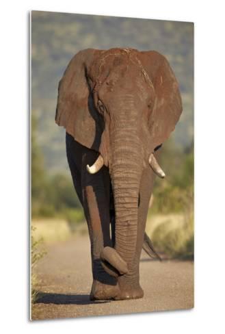 African Elephant (Loxodonta Africana), Kruger National Park, South Africa, Africa-James Hager-Metal Print