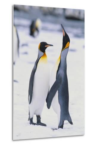 King Penguins-DLILLC-Metal Print