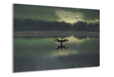A Cormorant (Phalacrocorax Auritus) Stretches its Wings to Dry Them During Sunrise-Alex Saberi-Metal Print