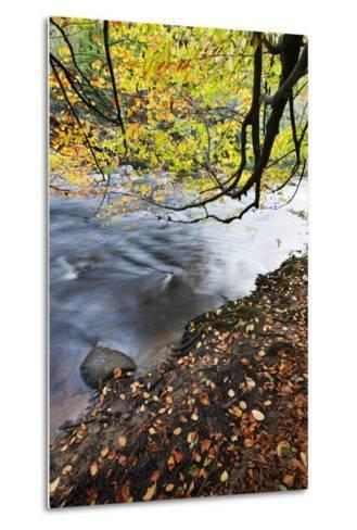 Fallen Leaves and Tree Overhanging the River Nidd in Nidd Gorge in Autumn-Mark Sunderland-Metal Print