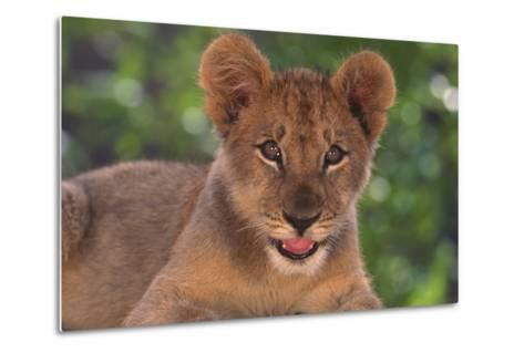 African Lion Cub-DLILLC-Metal Print