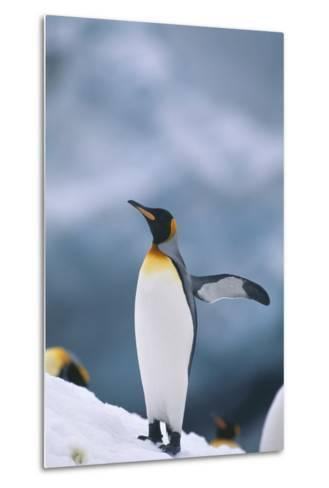 King Penguin with Wing Outstretched-DLILLC-Metal Print