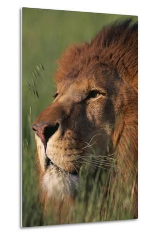 Lion in Grass-DLILLC-Metal Print