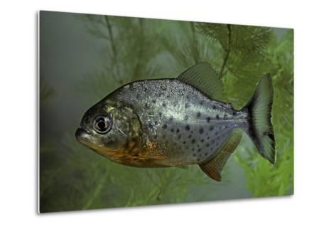 Pygocentrus Nattereri (Red-Bellied Piranha, Red Piranha)-Paul Starosta-Metal Print