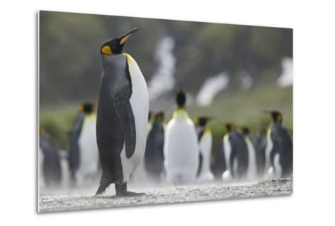 King Penguin Looking Up-DLILLC-Metal Print