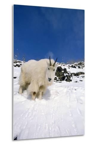 Mountain Goat Billy on High Mountain Slope-Design Pics Inc-Metal Print