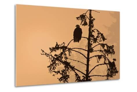 Silhouette of a Bald Eagle Perched on a Tree at Sunset in the Mist of the Tongass National Forest-Design Pics Inc-Metal Print