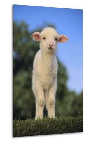 Whitefaced Lamb in the Pasture-DLILLC-Metal Print