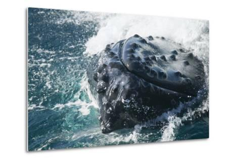 Barnacle Covered Mouth of Humpback Whale-DLILLC-Metal Print