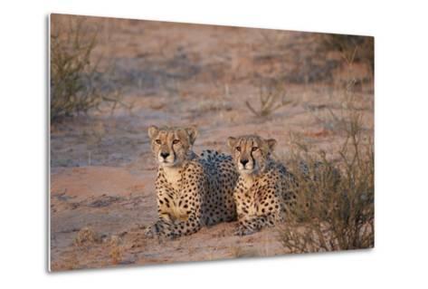 Two Cheetah (Acinonyx Jubatus)-James Hager-Metal Print