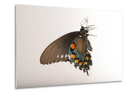 A Pipevine Swallowtail, Battus Philenor, a Native to Nebraska, at the Lincoln Children's Zoo-Joel Sartore-Metal Print