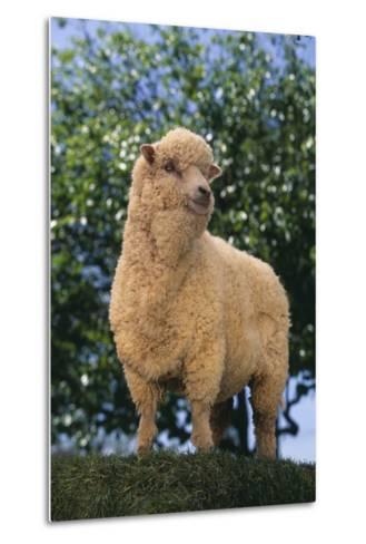Sheep in Grass-DLILLC-Metal Print