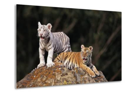 White Tiger and Orange Tiger on Rock-DLILLC-Metal Print