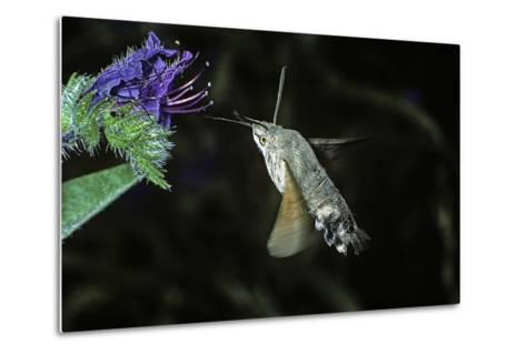 Macroglossum Stellatarum (Hummingbird Hawk-Moth) - Flying and Feeding on Flower Nectar-Paul Starosta-Metal Print