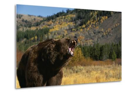 Grizzly Roaring in Field-DLILLC-Metal Print